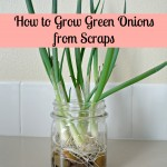 Growing Green Onions from Scraps {Gypsy Magpie}