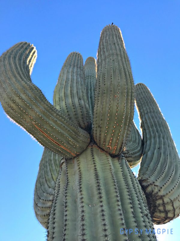 Sabino Canyon outside Tucson, Arizona has some seriously sweet Saguaros! How cool is this big old guy?! | Gypsy Magpie