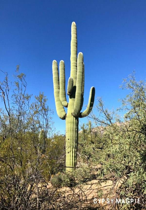 A towering Saguaro cactus in Sabino Canyon. These things are SO COOL! | Gypsy Magpie