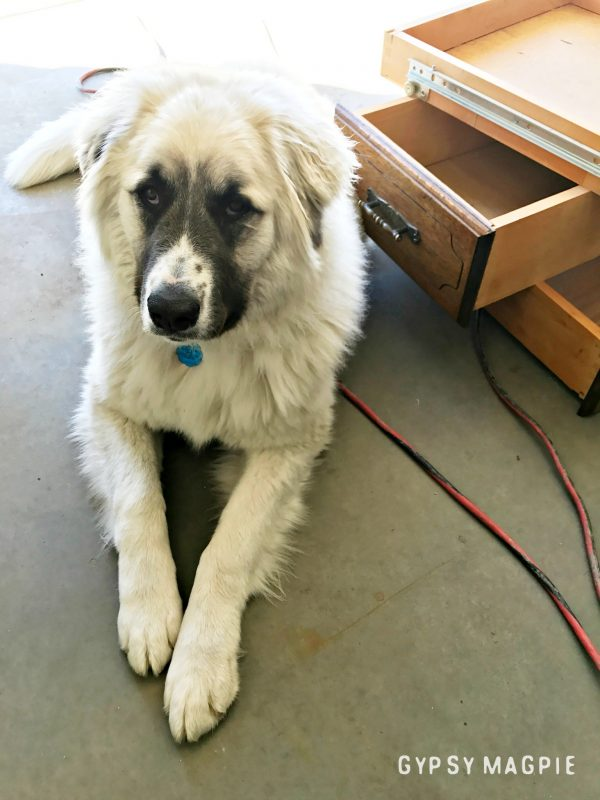 My Pyrenees Helper hard at work | Gypsy Magpie