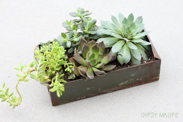 Succulents planted in an old card file box. So cute! | Gypsy Magpie